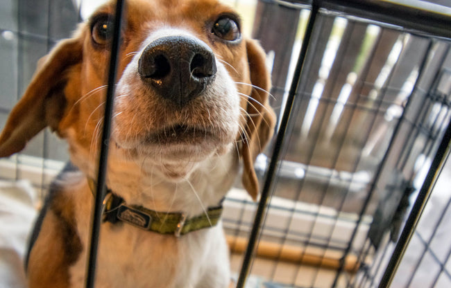 Adopting Rescues vs. Puppy Mill Dogs