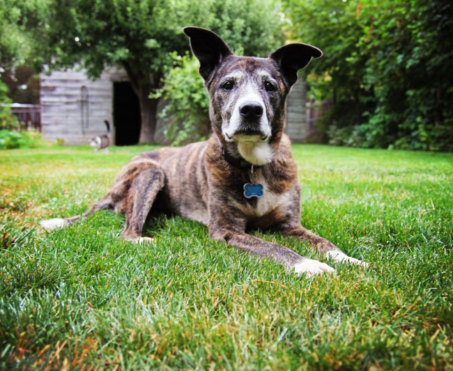 5 Reasons Why You Should Adopt a Senior Dog