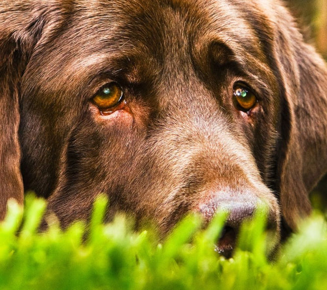 Canine Lymphoma Can Be Deadly, If NOT Treated Right Away