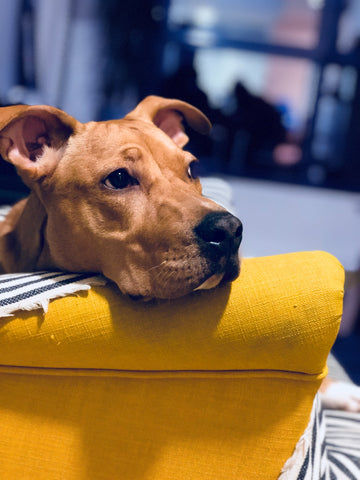 Adult Fawn American Pit Bull Terrier