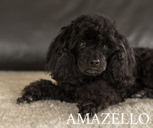 5D Diamond Painting Black Poodle
