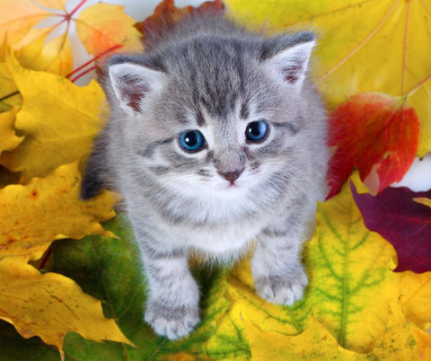 5D Diamond Painting Blue Eyed Kitten