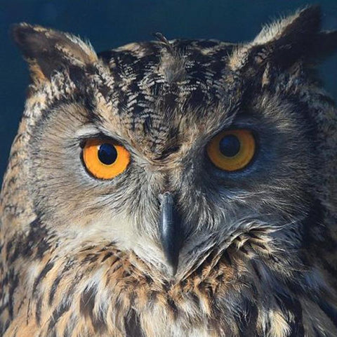 Image of 5D Diamond Painting Wild Owl