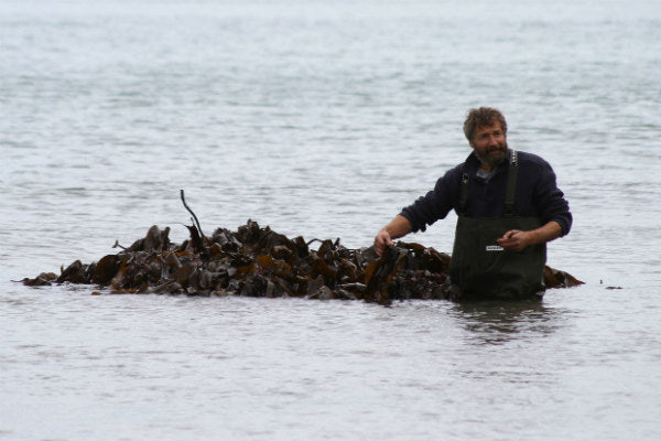 Seaweed harvesting in devon