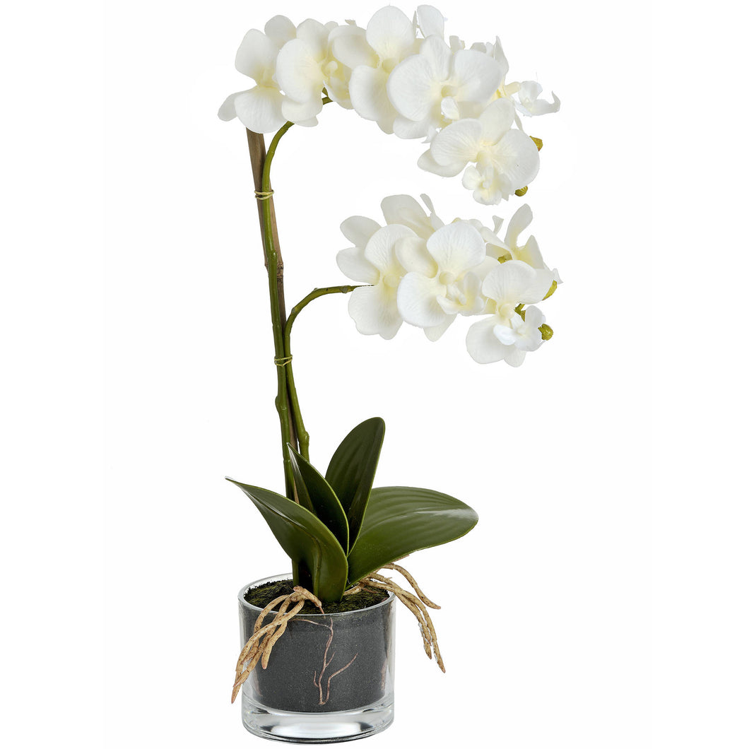 Harmony White Potted Orchid