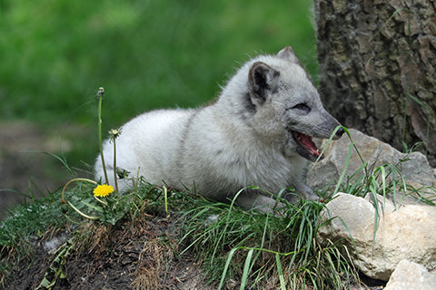 Arctic Fox Adoption