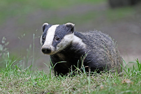 Badger Adoption