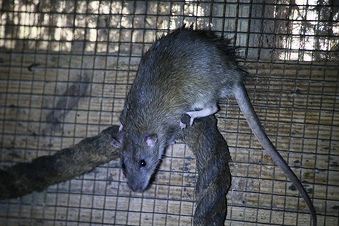 Brown Rat Adoption