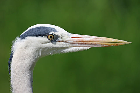Grey Heron Adoption