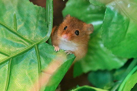Harvest Mouse Adoption