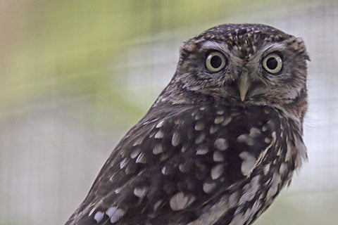 Little Owl Adoption