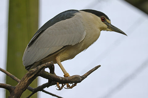 Night Heron Adoption