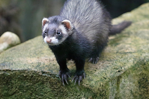 Polecat Adoption