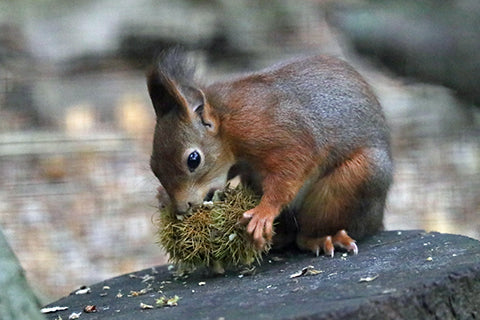 Red Squirrel Adoption