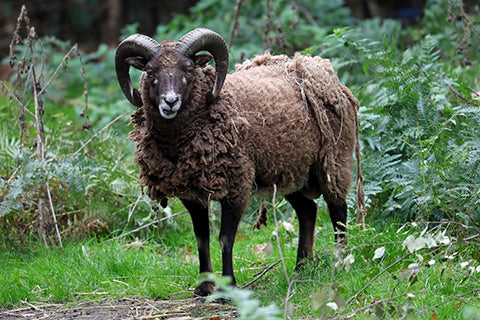 Soay Sheep Adoption