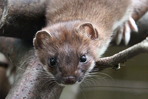 Stoat Adoption