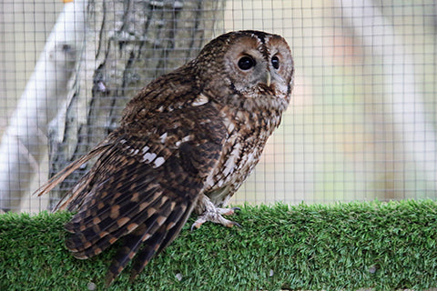 Tawny Owl Adoption