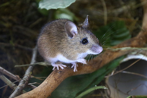 Wood Mouse Adoption