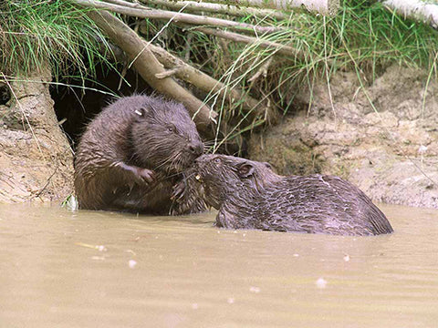 18th January - Rewilding 2: Bringing Back the Beaver