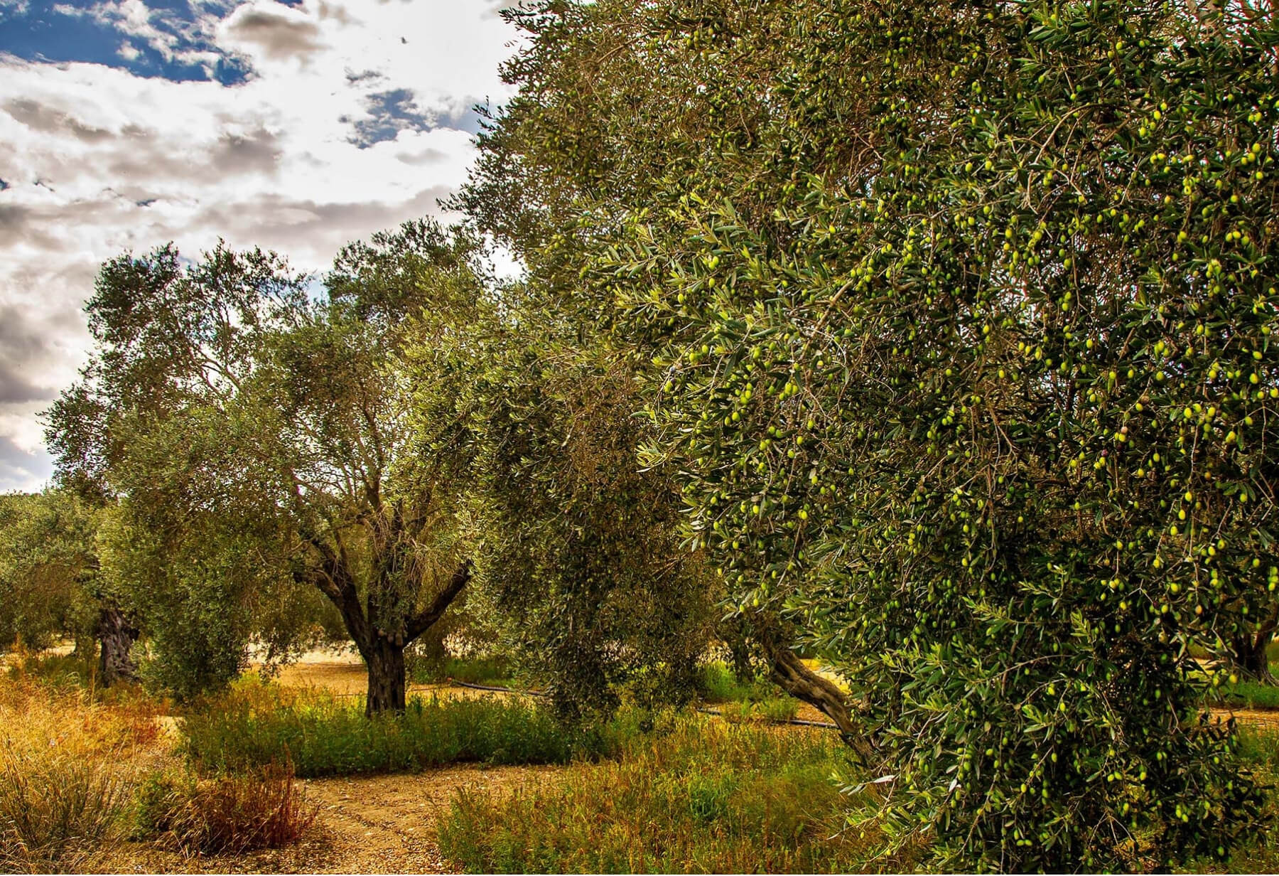 Why Kypriako/Kibrisli/Cypriot olives in Colive EVOO?