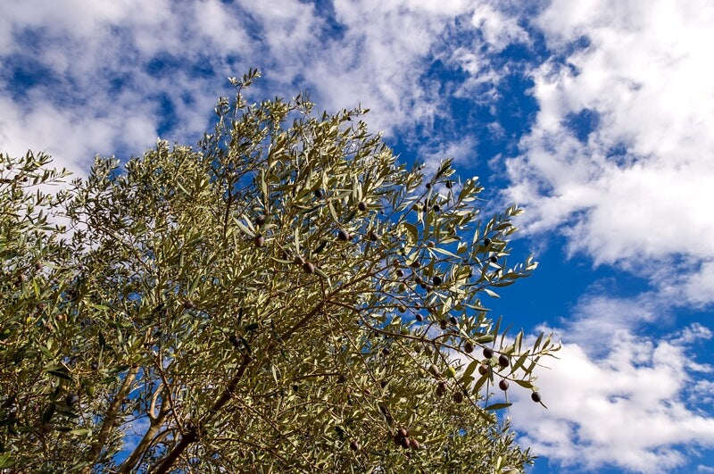 Olive tree; branches full of olives with a partly cloudy sky on the background