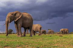 Elephants in Keny, Africa