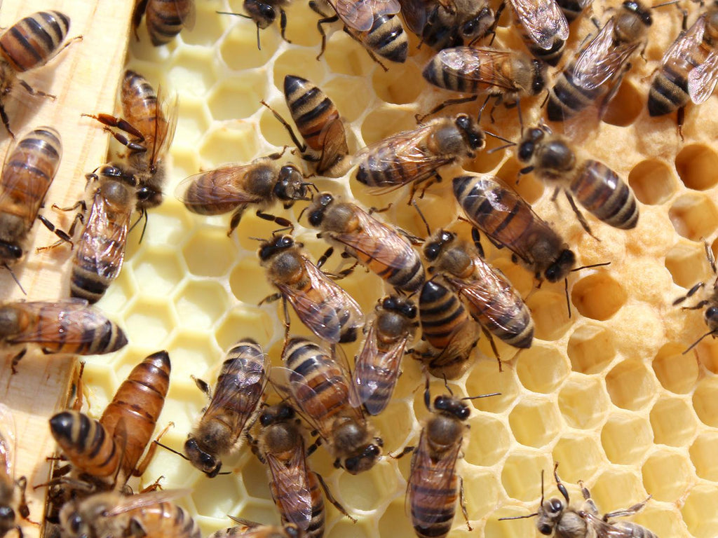 What are the roles of a worker bee? - Apis Mercantile