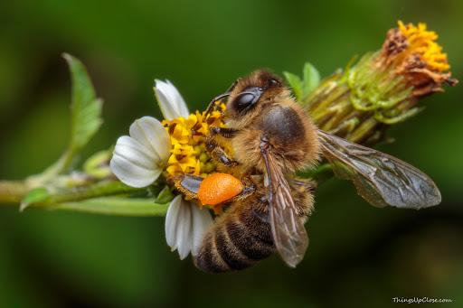 What's a flower to a bee? - Apis Mercantile