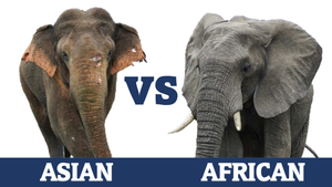 African vs Asian Elephant