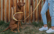 Out of My Box Leash in Marigold & Cream, Leashes, See Scout Sleep, - Winnie Lou - The Canine Company