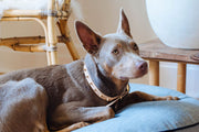 Spike Collar in Gold, Collars, Nice Digs, - Winnie Lou - The Canine Company