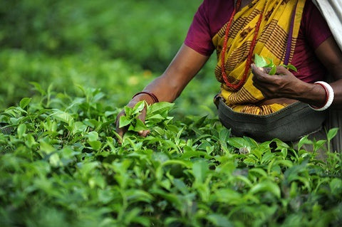 Darjeeling tea is made in India only