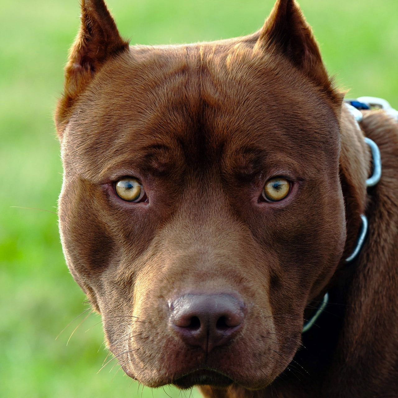 Breed Spotlight: The Original and Real Pitbull