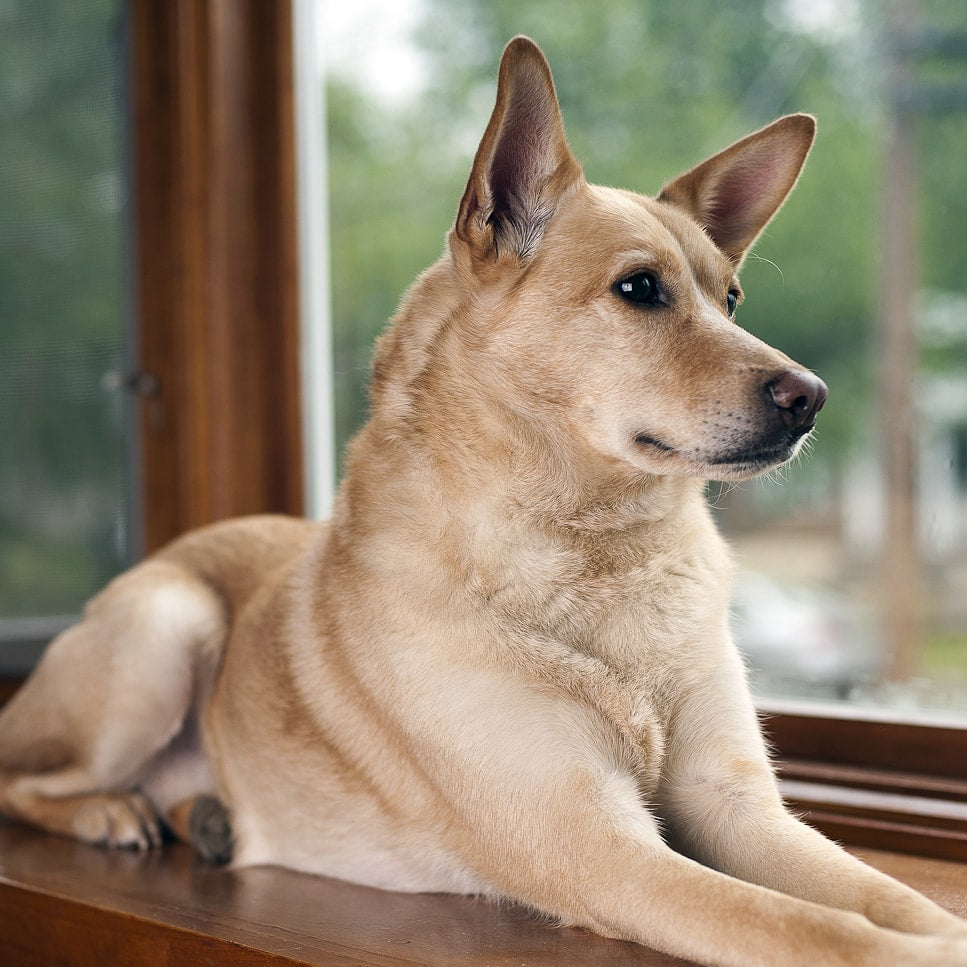 Breed Spotlight: Carolina Dog