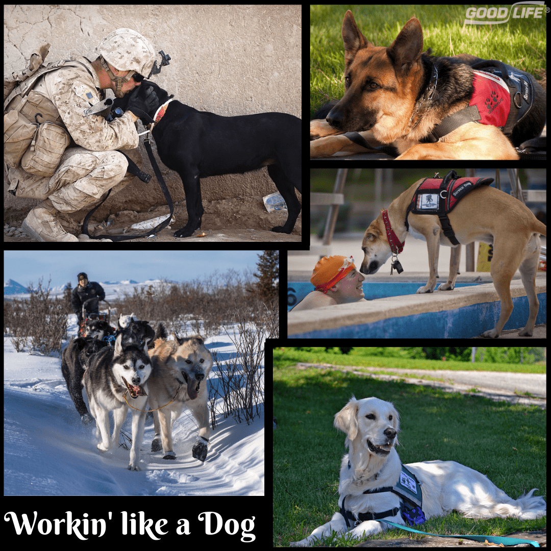 Working Like a Dog – Service Dogs