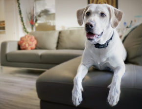 A white lab is lying on the edge of a L-shaped couch. He is wearing the BarkWise collar.