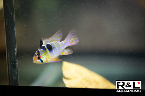 RLaquariums-R&L Aquariums-cichlid-germanblueram
