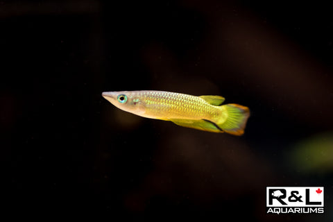 RLaquariums-R&L Aquariums-killifish