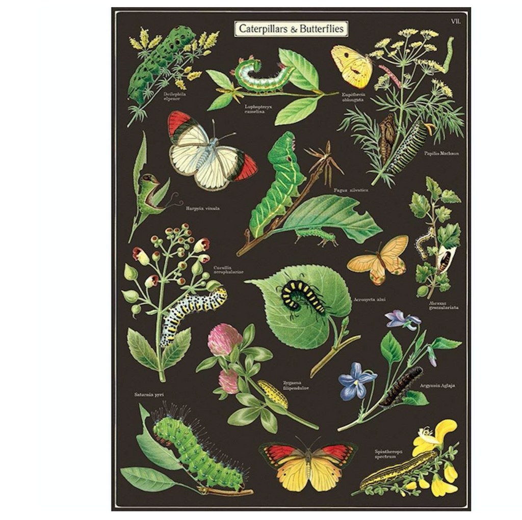 Caterpillars + Butterflies   Poster