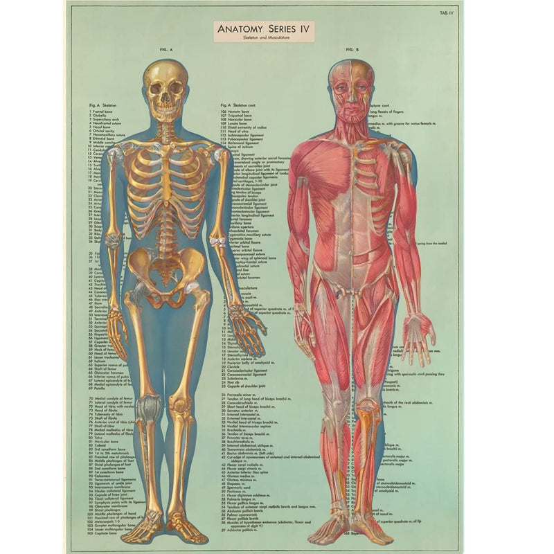 Anatomy Series Poster - blue