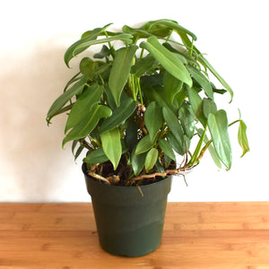 horsehead philodendron