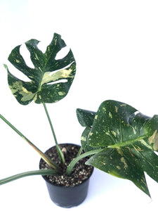 monstera deliciosa thai constellation