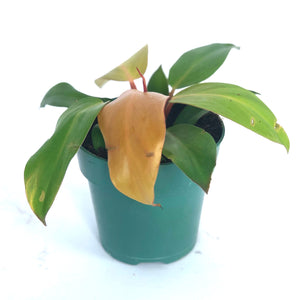 small philodendron 'prince of orange'