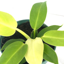 small philodendron 'moonlight'