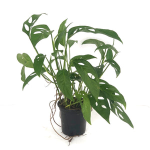 monstera adansonii 4""