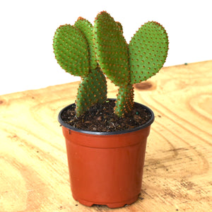 opuntia-rabbit ear cactus green