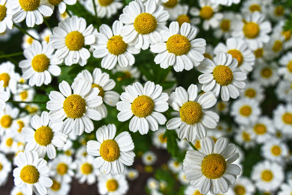 chamomile flower is chamomile safe for dogs