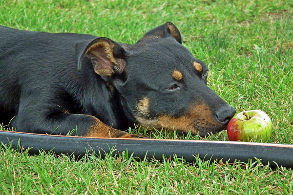 dog sniffing apple fall ingredients that are safe for dogs