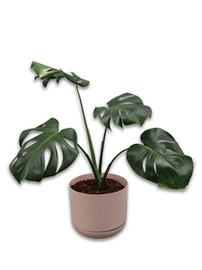 Monstera Indoor Plants - Brooklyn Flowers