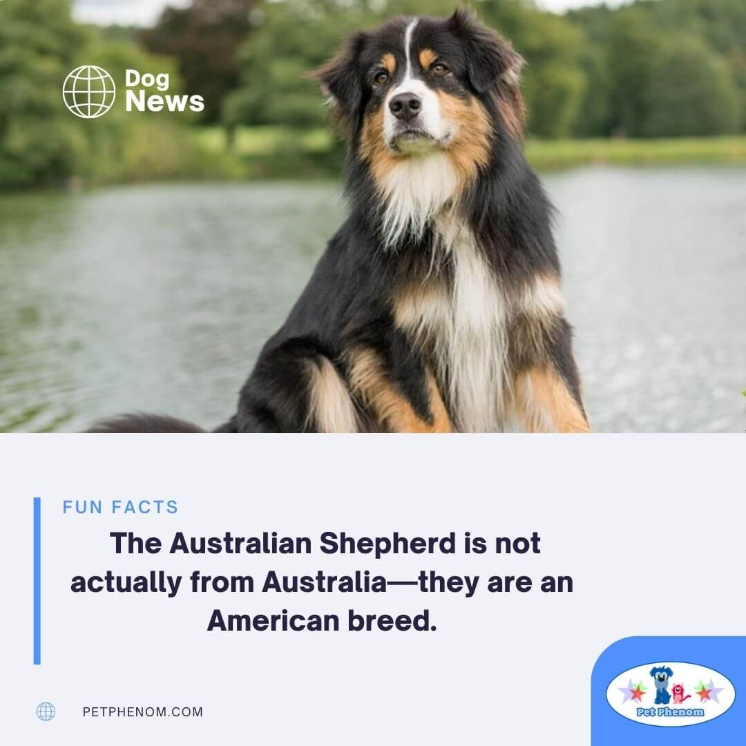 The Australian Shepherd is not actually from Australia—they are an American breed.
